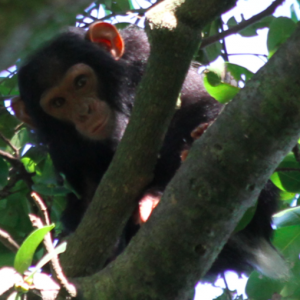 Chimpanzee in Muhura Forest, Rumangabo